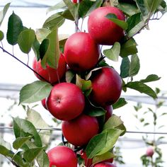 Apple Redlove Sirena - Bare Root Tree.  Someday you'll be in my garden ^_^