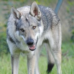 best images and pictures ideas about czechoslovakian dog - dogs that look like wolves American Alsatian, Farm Animals, Cute Animals, Alaska Dog, Czechoslovakian Wolfdog, Saarloos, Dog Heaven, Wolfhound, Jack Russell Terrier