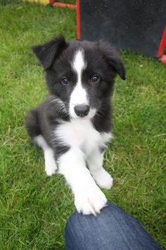 Border Collie Abby