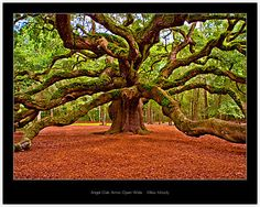 Angel Oak Arms Open Wide by Miles Moody - Towering over 65' high, the Angel Oak has shaded John's Island, South Carolina, for over 1400 years. Recorded history traces the ownership of the live oak and surrounding land, back to the year 1717 when Abraham Waight received it as part of a small land grant.  Today the live oak has a diameter of spread reaching 160', a circumference of nearly 25', and covers 17,100 square feet of ground.  Beautiful!