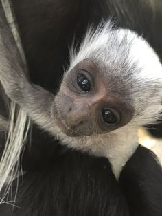 Jacksonville Zoo and Gardens welcomed the birth of an Angolan Colobus monkey on May 27. The infant was the first for mother, Moshi, and sixth for father, Andy.