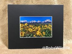 SPRING SALE  4x6 photography print matted to 8x10 Spring Sunflowers in Teton National Park Jackson. Landscape photography, Jackson, Wyoming.