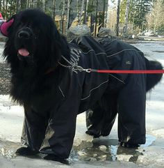 Newfie wearing a Hurtta slush combat suit, great for keeping mud off.