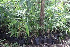 Cara Menanam Bambu - http://caramenanam.net/cara-menanam-bambu/