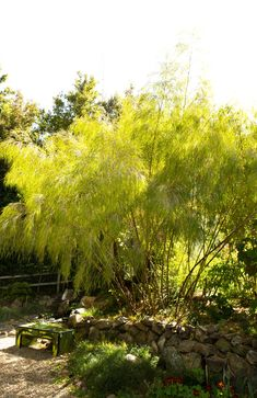 Mexican Weeping Bamboo - Monrovia - Mexican Weeping Bamboo.  Great between neighbors homes