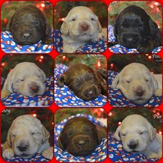 Talor's & Olaf's puppies at 2 weeks old! www.agapepawslabradoodles.com Certified Australian Labradoodles