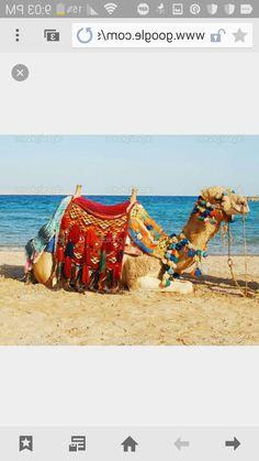 Saddle blanket on sitting camel