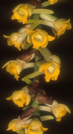 Lemurorchis madagascariensis - Found in central Madagascar in evergreen forests at elevations of 2000 to 2200 meters as a medium-sized, cool-growing epiphyte.