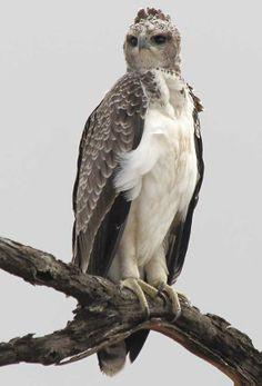 Juvenile Martial Eagle perched in tree, Kruger National Park, South Africa