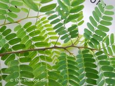 Tamarinde Blätter Plant Leaves, Plants, Spices And Herbs, Exotic, Fresh, Planters, Plant, Planting