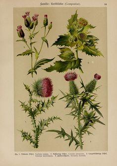 Hoffmann-Dennert botanischer Bilderatlas   Suttgart,Schweizerbart,1911.