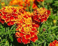 Tagetes , Studentenblume als abdeckhilfe für brachliegende Hochbeete, nährstoffreich und nützlich.