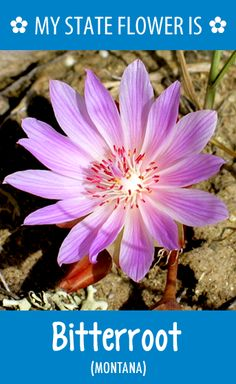 #Montana's state flower is the Bitterroot. What's your state flower? http://pinterest.com/hometalk/hometalk-state-flowers/