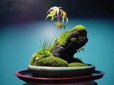 精美的苔藓盆景 [Beautiful Moss bonsai]