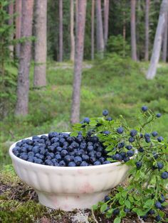 Forest, Finland, blueberry