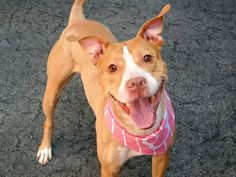 GONE - BE AT PEACE 6/7/14  Manhattan Center    My name is MUSKRAT. My Animal ID # is A1001356.  I am a female tan and white pit bull mix. The shelter thinks I am about 1 YEAR 7 MONTHS old.   I came in the shelter as a STRAY on 05/28/2014