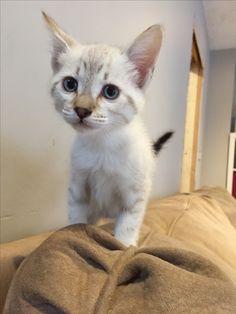 Definitely a Lynx Point Siamese KittyKitty Siamese