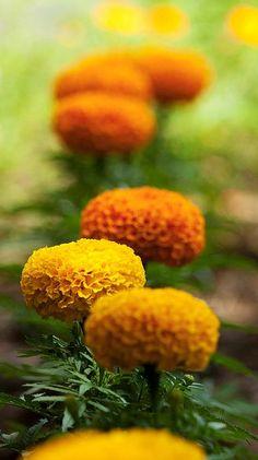 Wild Flowers, Beautiful Flowers, Fuerza Natural, Marigold Flower, Plantation, Belleza Natural, Mellow Yellow, Dream Garden, Garden Landscaping