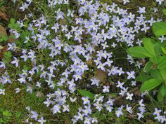Bluets Houstonia Caerulea - Make sure to visit GardenAnswers.com and download our free plant idenfication app.