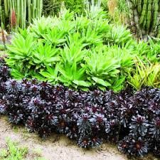 landscaping with aloes and euphorbias - Google Search