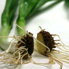 This Instructable outlines how to grow fresh onion plants from discarded onion bottoms that would otherwise be thrown in the trash.  You can theoretically...