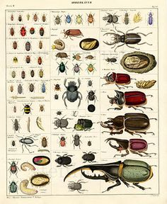 ANTIQUE PRINT ALBERTUS SEBA: CABINET OF NATURAL CURIOSITIES ...