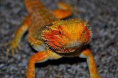 Carolina Classic Dragons
