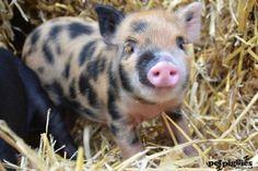 2 week old micro pig piglet  www.petpiggies.co.uk