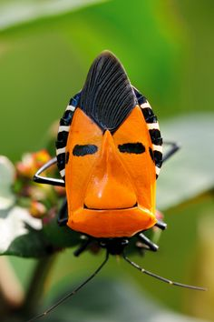 A little #bug humor - can't help but chuckle at this guy! Inckurei Face Bug (catacanthus incarnatus)