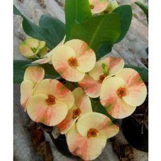 Corona de 'Dreamland' Espinas (Euphorbia milii híbrido)