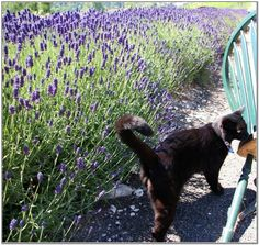 Lavender Plants And Cats