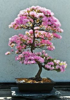 Azalea Bonsai at the National Arboretum, Washington, D.C. -  photo by shool40