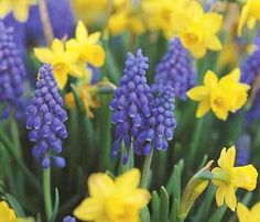 Grape hyacinths are another fav of mine. I think they are prettiest paired up with another flower...like these happy daffodils!