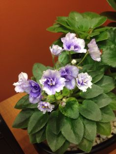 """""""Rob's Chilly Willy"""" African violet"""