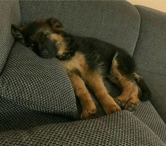 Wake up sleeping head! German Shepherd Pup! too cute!