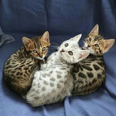 #Bengal #kitten 3-some