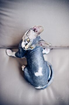 Sphynx, I want another little baby :(