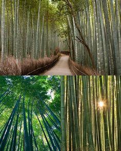 { Bamboo Groves of Arashiyama: Kyoto, Japan } spring 2015