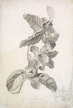 SPAENDONCK, Van. G. - Neflier cultivé. Mespilus germanica. L., c 1800