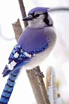 Blue jay – My winter friends, they brighten my yard and my spirits when everything else is brown. Blue jay – My winter friends, they brighten my yard and my spirits when everything else is brown. Cute Birds, Pretty Birds, Beautiful Birds, Animals Beautiful, Exotic Birds, Colorful Birds, Exotic Pets, Blue Jay, Hirsch Illustration