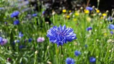 The pure blue of cornflower, growing abundantly alongside her calendula friends at Orchard Oast Flowers. Sunshine and flowers - simply joys and free medicine to uplift your spirits any time.