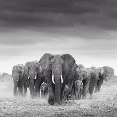 "Great photography of a herd of elephants Mehr zum Thema ""Gesundheit"" gibt es auf interessante-dinge.de Great photography of a herd of elephants Mehr zum Thema Gesundheit gibt es auf interessante-dinge. Elephant Photography, Wildlife Photography, Animal Photography, White Photography, Photography Portraits, Herd Of Elephants, Save The Elephants, Elephants Photos, Beautiful Creatures"