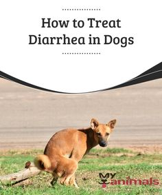 How to Treat Diarrhea in Dogs  Even though in most cases it is not a serious health problem, it is very important to know how to treat diarrhea in dogs so that both the animal and the owner do not suffer from any discomfort (if the owner has to clean it up). In this article, we are going to tell you.