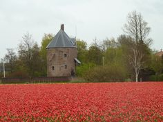 Fields of red tulips - aren't they stunning?