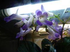 Belle floraison de mon pied de Chirita http://www.pariscotejardin.fr/2014/12/belle-floraison-de-mon-pied-de-chirita/