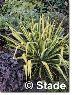 Staudenfoto zu Yucca flaccida 'Golden Sword' (Garten-Palmlilie)