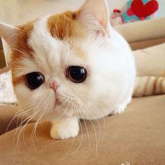 gatos exoticos - Buscar con Google