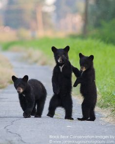 Adorable three little bears 🐻🐻🐻 Cute Baby Animals, Animals And Pets, Wild Animals, Bear Cubs, Grizzly Bears, Tiger Cubs, Baby Bears, Tiger Tiger, Mon Zoo