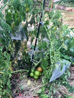 Mid-June in JHB and still have a tomatoes crop Organic Gardening, Tomatoes, June, Vegetables, Vegetable Recipes, Organic Farming, Veggies
