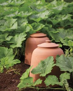 terracotta cloches/ Thomas Jefferson's kitchen garden